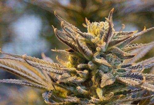 marijuana plant and cbd oil